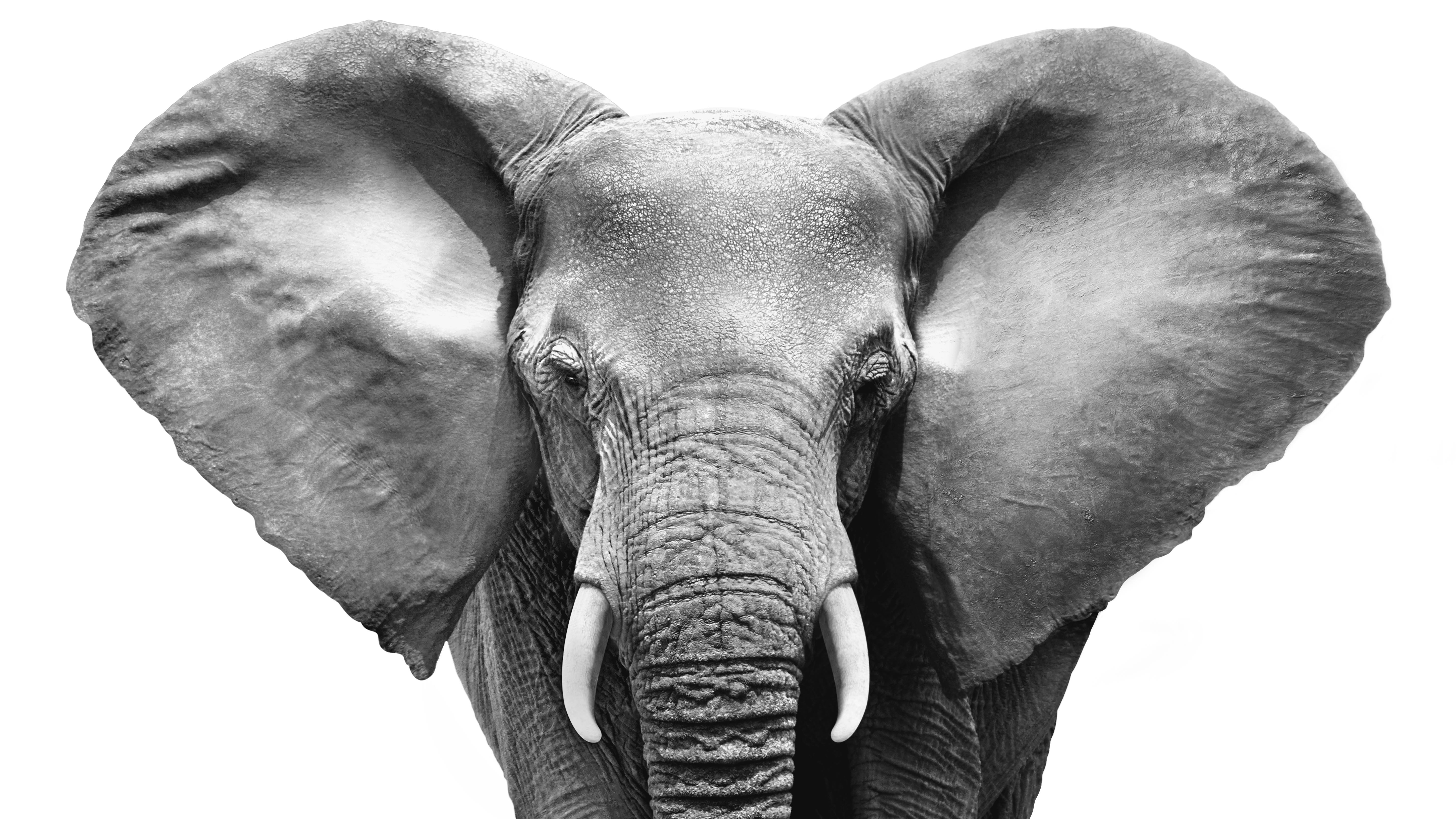 Elephant_face_gray_FULL_Cropped